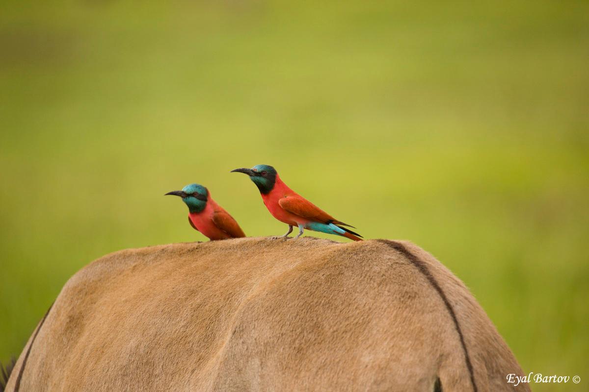 carmine bee-eater (Merops nubicoides)