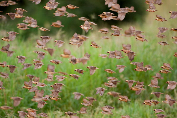 Red -Billed Quelea