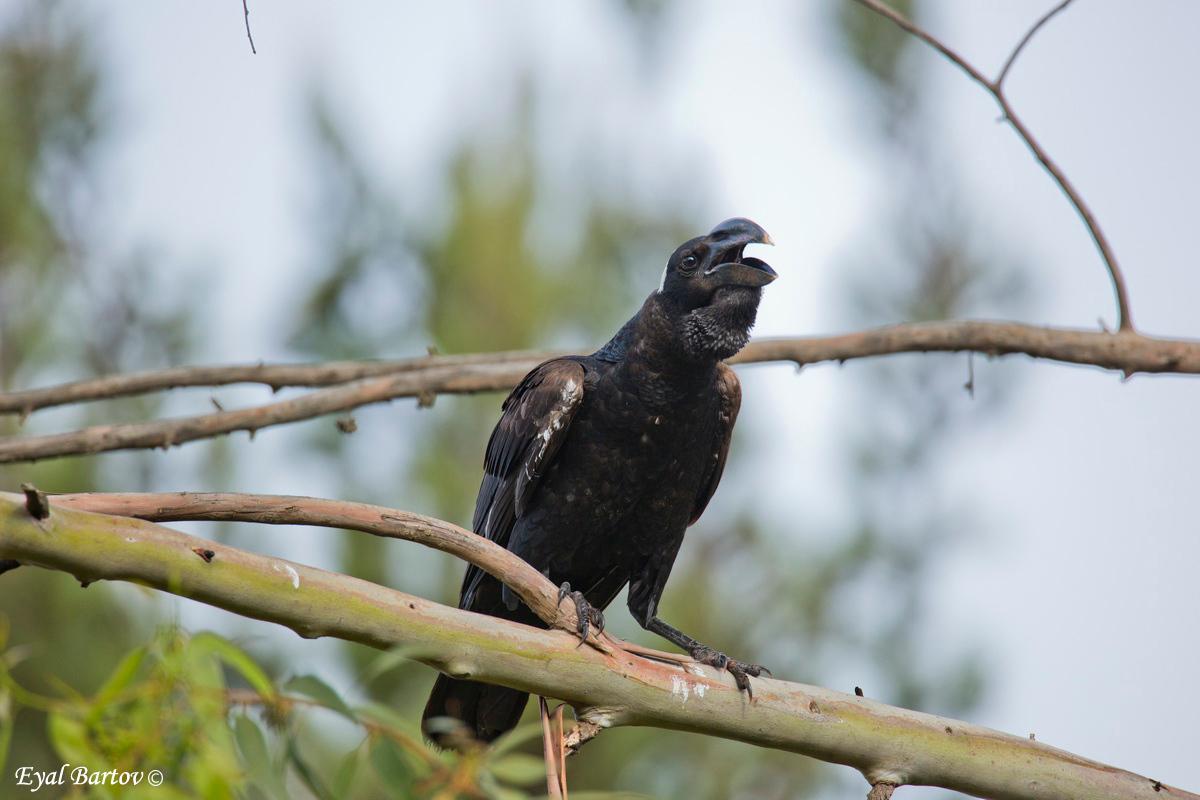 Thick-billed Raven (Corvus crassirostris)