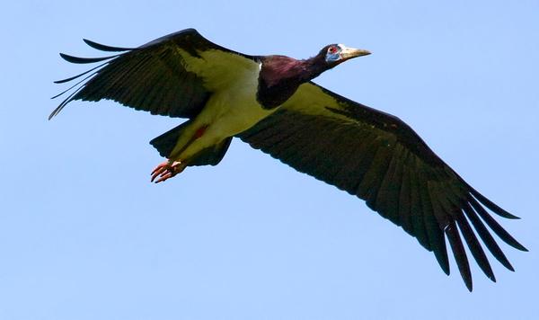 Abdim's stork, Ciconia abdimii