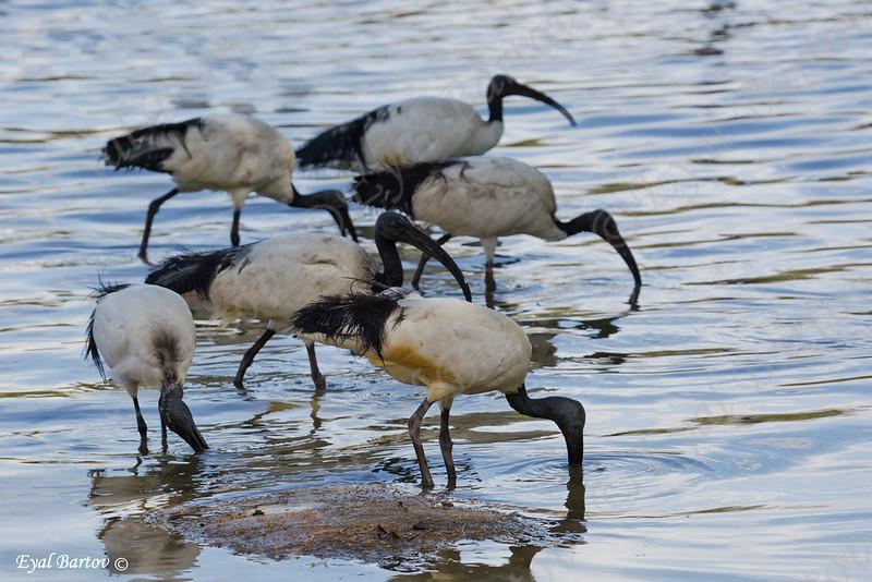 Sacred ibis, Threskiornis aethiopicus