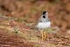 Spot- Breasted Plover (Vanellus melanocephalus)