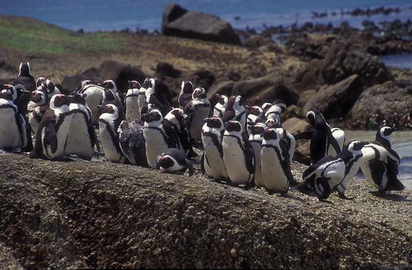 פינגווין 4.jpg
