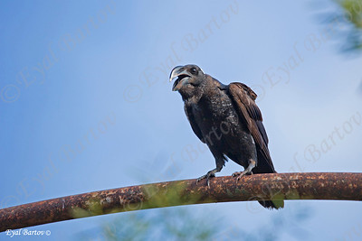 THICK-BILLED RAVEN   (Corvus crassirostris)