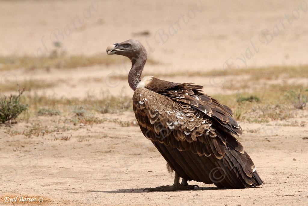 Rüppel's Vulture, Sperbergeier, Gyps rüppellii