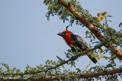 Black-billed Barbet, Purpurmasken-Bartvogel, Lybius guifsobalito