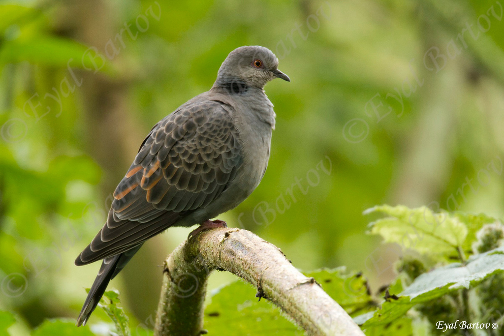 Dusky turtle dove (Streptopelia lugens)