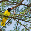 Black-headed Oriole (Oriolus larvatus)