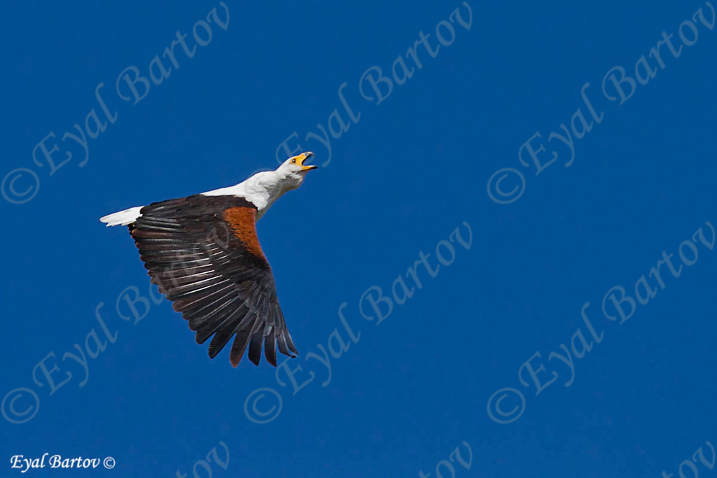 African Fish-Eagle, Schreiseeadler, Heliaeetus vocifer