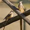Speckled Mousebird (Colius striatus) - ציפור עכבר- קוליוסאי ממושקף
