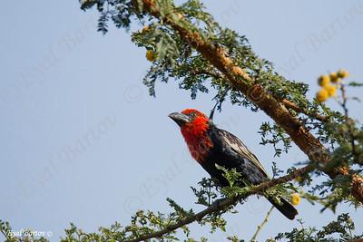 Black-billed Barbet, Purpurmasken-Bartvogel, Lybius guifsobalito