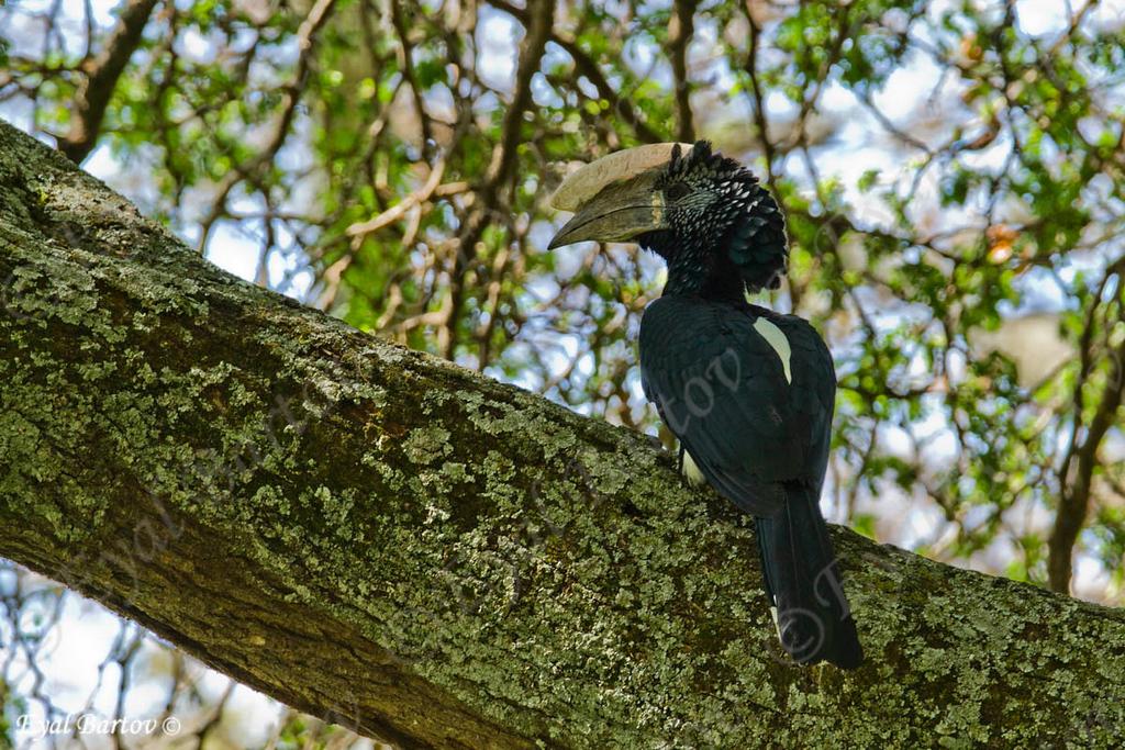 Silvery-cheeked Hornbill - Silberwangen-Hornvogel - Bycanistes brevis