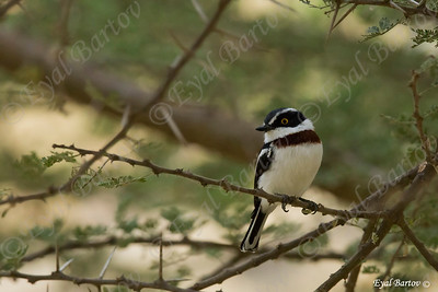 Grey-headed Batis - Heuglin Batis - Batis orientalis