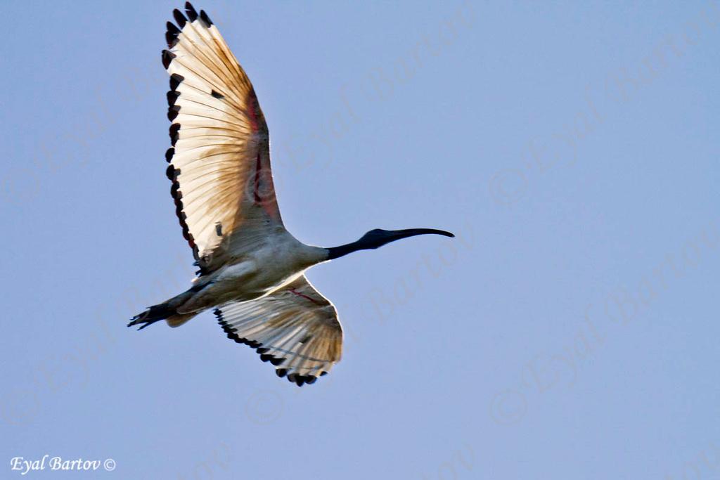 Sacred Ibis, Heiliger Ibis , Threskiornis aethiopicus