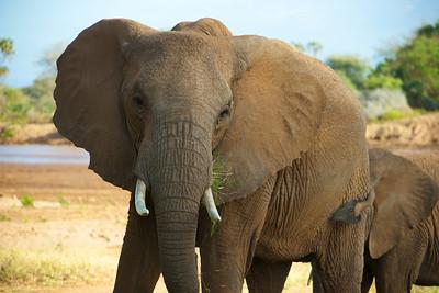 African Elephant - Sambura Game Preserve, Kenya