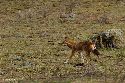 Ethiopian wolf (Canis simensis)