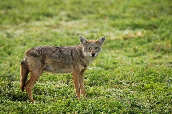 Jackals & fox - שועלים  ותנים