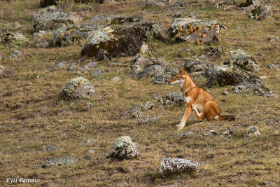 Ethiopian wolf (Canis simensis)