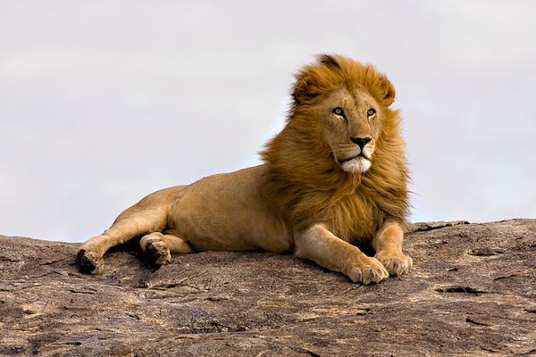 Masai Lion