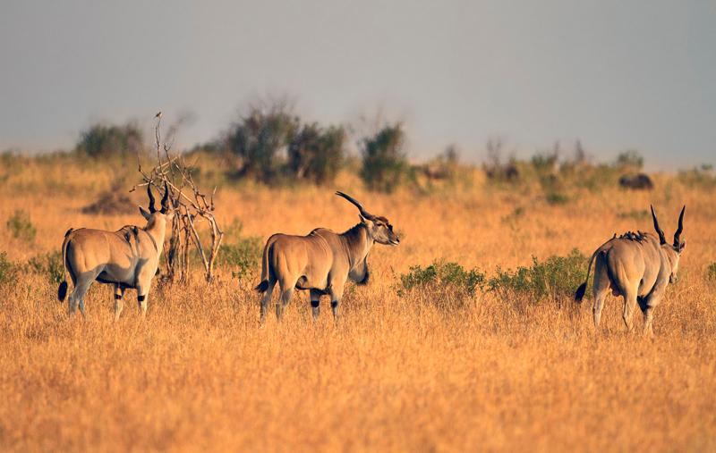Common eland (Taurotragus oryx) -אילנד