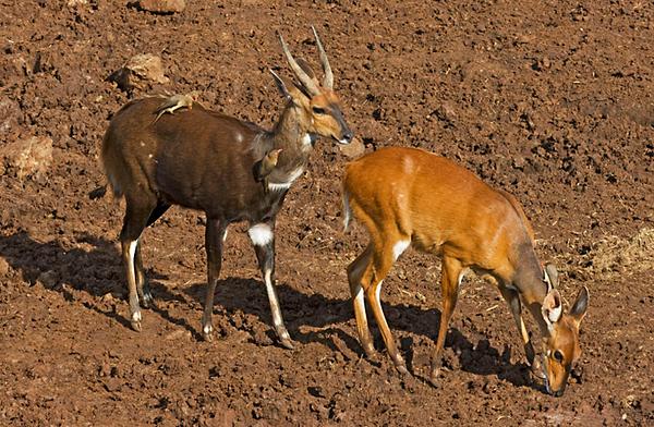 Cameroon Bushbuck (Tragelaphus scriptus ) אנטילופת סבך