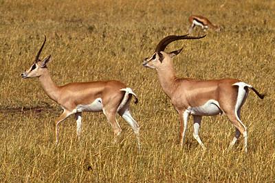Grant's gazelle (Nanger granti) צבי גראנט