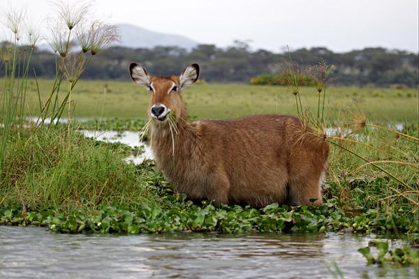 waterbuck (Kobus ellipsiprymnus ) קובוס המיים אנטילופת מיים