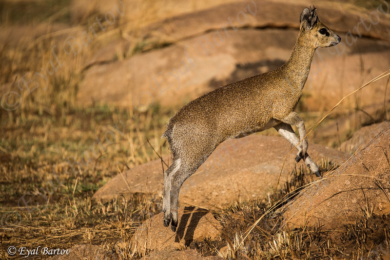 Klipspringer צבי הסלעים