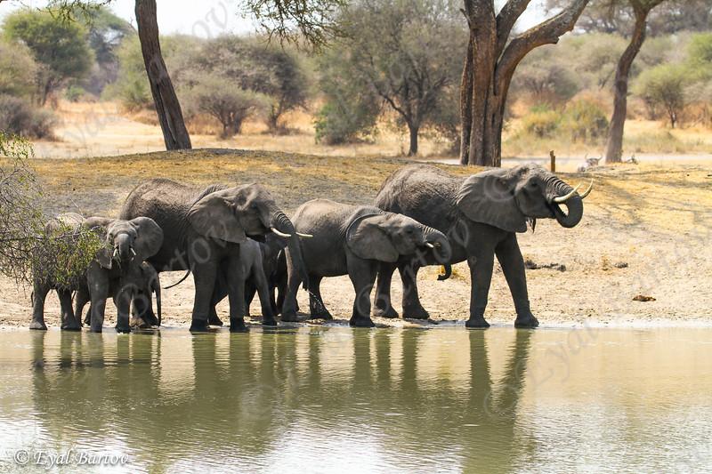 African elephant - פילים אפריקאים
