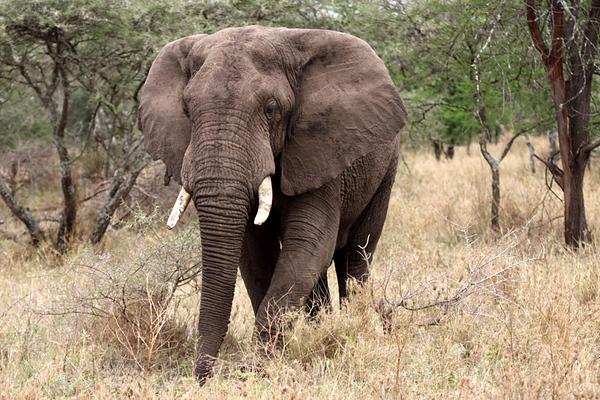 Elephant,  פיל, Loxodonta africana,