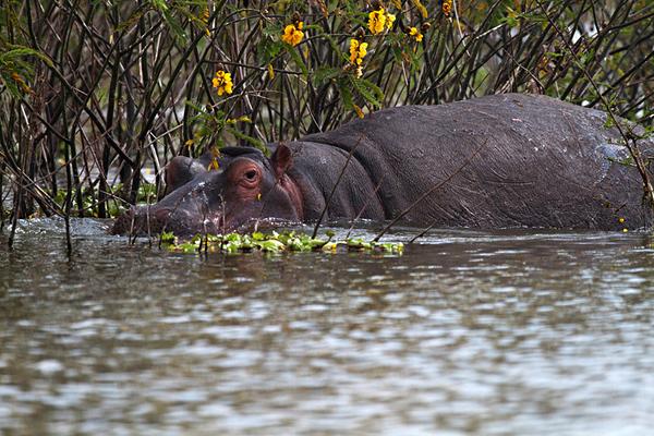 Hippopotamus (Hippopotamus amphibius) היפופוטם
