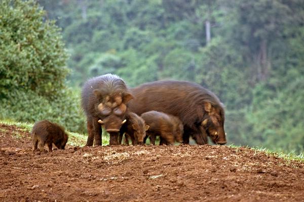 חזיר יערות 2.jpg