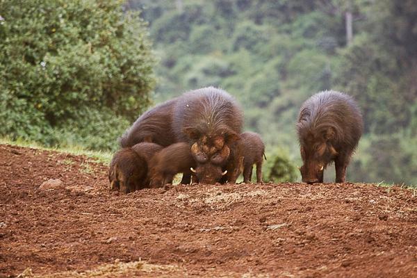 חזיר יערות 1.jpg