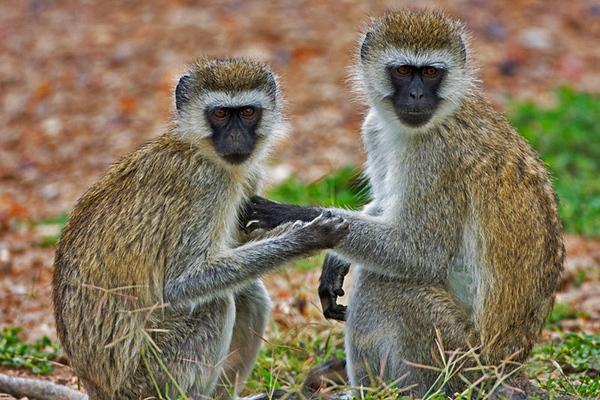 Monkeys קופים