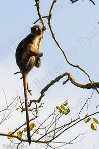 Ugandan Red colobus (Procolobus tephrosceles)