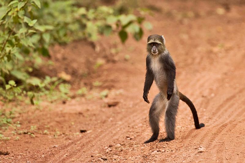 Blue monkey Cercopithecus mitts - קוף כחול סאיקס