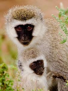vervet monkey (Chlorocebus pygerythrus) קוף ירוק