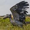 Shoebill (Balaeniceps rex) מנעלן