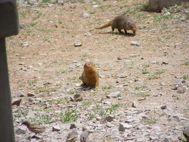 Mongoose looking for hand outs