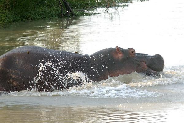 1 hippo 62