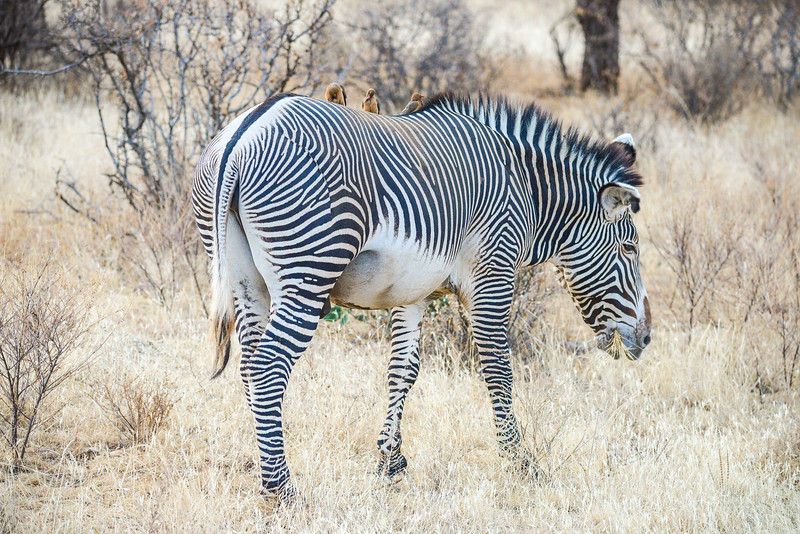 This Grevy's Zebra was one of only a few we saw. I remember there being more Zebra in Samburu the last time I visited.