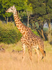 "The Masai Giraffe. The ""spots"" are a different shape then on the Reticulated Giraffe found in the north of Kenya."