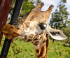A close up I took when we visited the Giraffe Center in Nairobi.