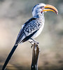 Yellow-billed Hornbill. These guys and thei red-billed friends were everywhere. Called a flying bannana the guides.
