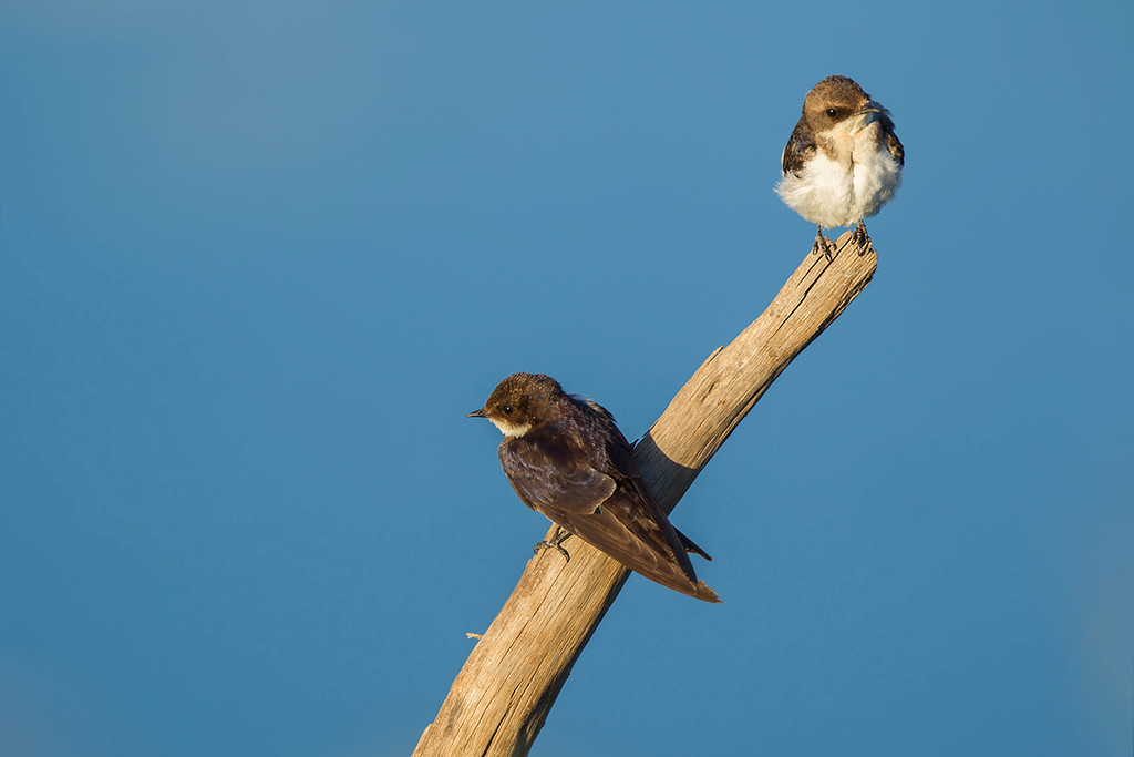 Juvenile Wire-tailed Swallow (?)