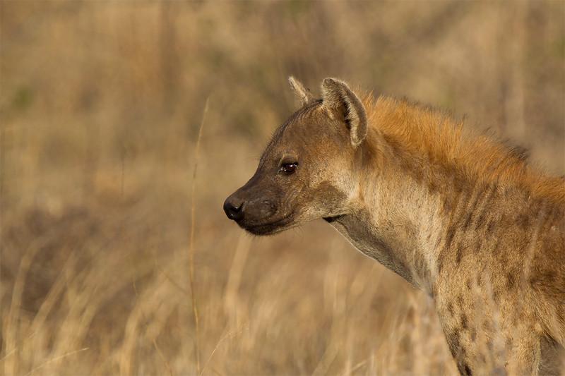 Spotted hyaena