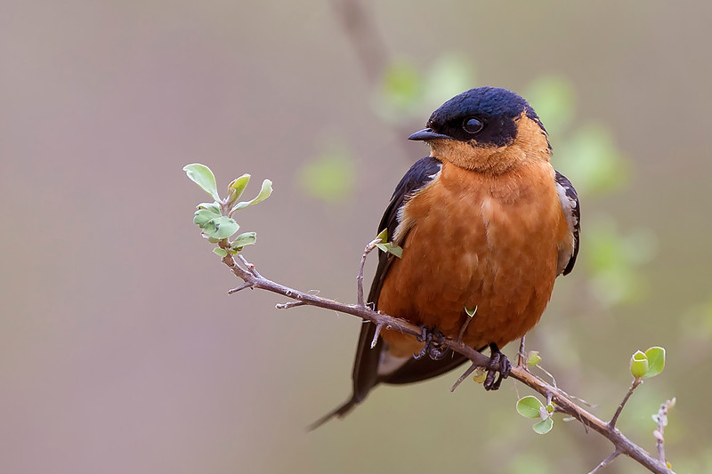 Red-breasted swallow