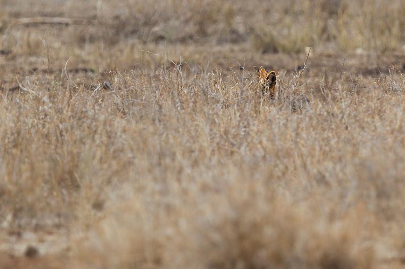 Little ears (Blackbacked jackal)