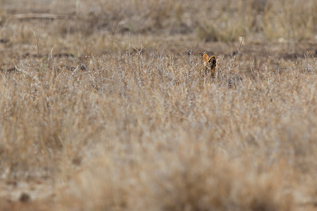 Little ears (Blackbacked jackal)