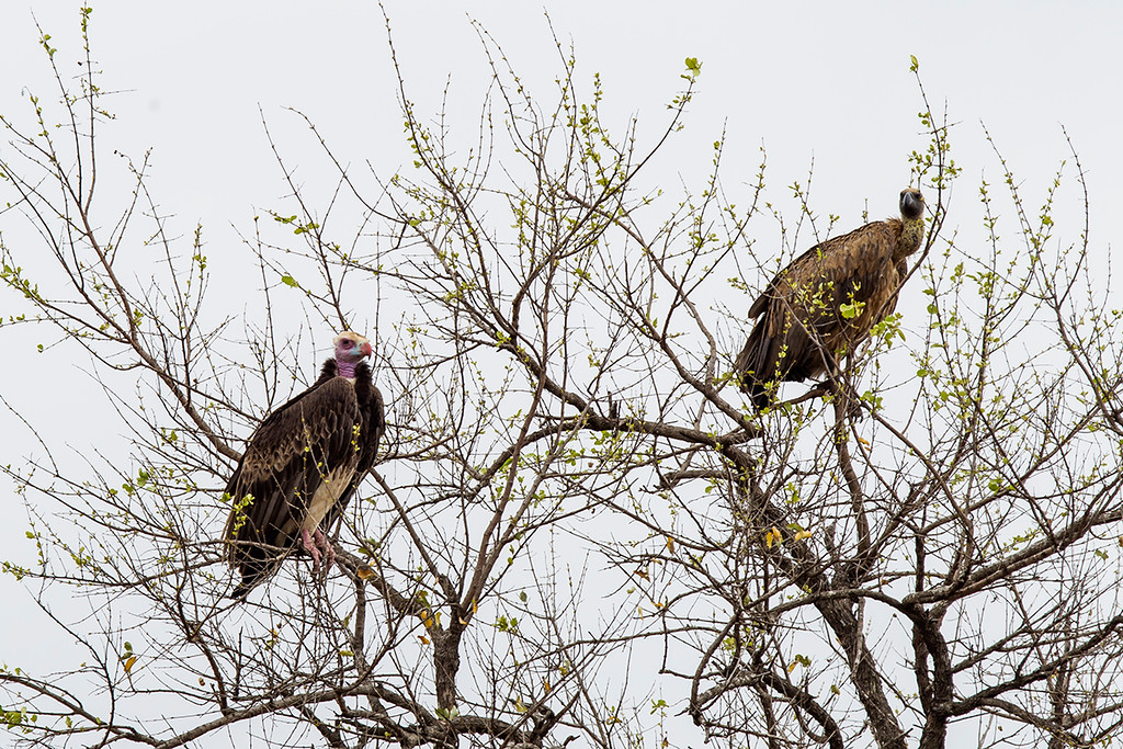 White-headed vulture & white-backed vulture